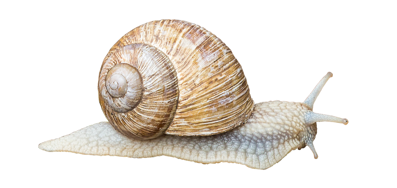 illustration-escargot